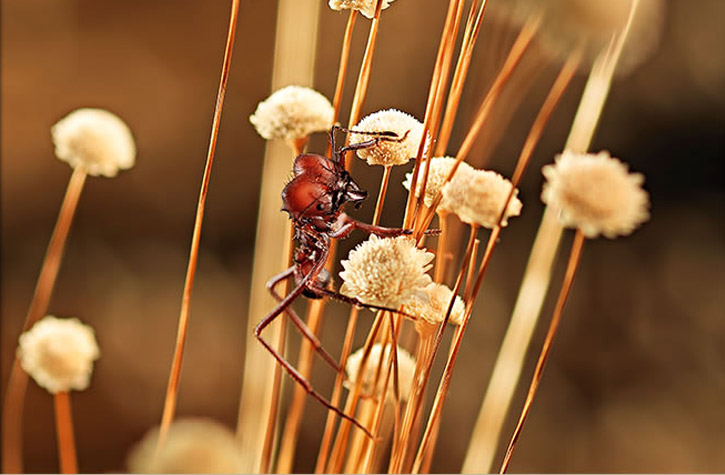 edible-ants