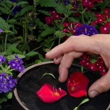 Eneko Atxa Eating from Soil rose-petals-sqr