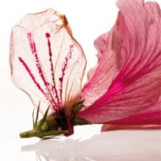 hibiscus-flower-elbulli