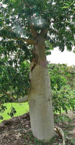 yacaratia-tree
