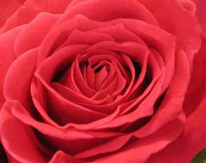 Rose flavor pairing